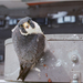 North American Peregrine Falcon - Photo (c) John Triffo, some rights reserved (CC BY-ND)