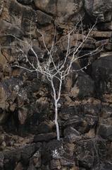 Bursera graveolens image