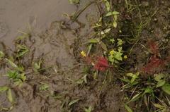 Image of Hypericum pratense