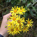Brachyglottis greyi - Photo (c) mcarthurn, all rights reserved, uploaded by Nikki McArthur