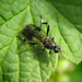 Garden Soldier Fly - Photo (c) cabbagetree, all rights reserved
