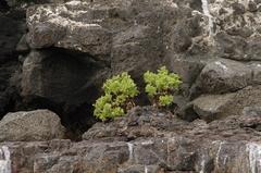 Scalesia crockeri image