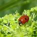 Adalia - Photo (c) cabbagetree, todos los derechos reservados