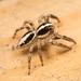 Araña Saltarina Pantropical - Photo (c) Colin Purrington, todos los derechos reservados
