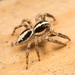 Pantropical Jumping Spider - Photo (c) Colin Purrington, all rights reserved