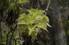 Scalesia affinis image