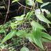 Clidemia silvicola - Photo (c) Maxime Rome, todos los derechos reservados