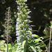 Echium callithyrsum - Photo (c) Frank Walther, all rights reserved
