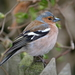 Common Chaffinch - Photo (c) Enzio Harpaintner, some rights reserved (CC BY-NC-ND)