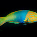 Sunset Wrasse - Photo (c) Ian Shaw, all rights reserved