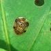 Microctenochira aciculata - Photo (c) Anderson Rabello Pereira, todos los derechos reservados