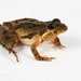 Cricket Frogs - Photo (c) J.P. Lawrence, all rights reserved