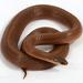 Virginia valeriae elegans - Photo (c) J.P. Lawrence, όλα τα δικαιώματα διατηρούνται