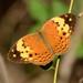 Cupha erymanthis - Photo (c) WK Cheng, todos los derechos reservados