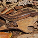 Copper Skink - Photo (c) Timothy Harker, all rights reserved