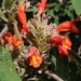 Himalayan Mint Shrub - Photo (c) luvspan, all rights reserved