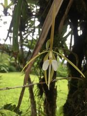 Epidendrum nocturnum image