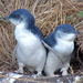 Little Penguin - Photo (c) M Kuhn, some rights reserved (CC BY-NC-SA)