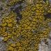 Candelariella aurella - Photo (c) Shaun Pogacnik, όλα τα δικαιώματα διατηρούνται
