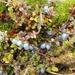 Coprosma brunnea - Photo (c) melissa_hutchison, όλα τα δικαιώματα διατηρούνται, uploaded by Melissa Hutchison