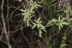 Cardiospermum galapageium image