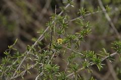 Macraea laricifolia image