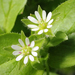 Common Chickweed - Photo Kaldari, no known copyright restrictions (public domain)