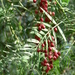 Pepper Tree - Photo (c) Squeezeweasel, some rights reserved (CC BY-SA)