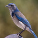 California Scrub-Jay - Photo (c) Dawn Beattie, some rights reserved (CC BY)