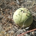 Hybrid Watermelon - Photo (c) Dewald du Plessis, some rights reserved (CC BY-NC)