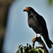 Black Caracara - Photo (c) Manakin Nature Tours, all rights reserved