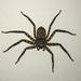 Selenopidae - Photo (c) Jake Mohlmann, כל הזכויות שמורות