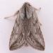 Pleromelloida cinerea - Photo (c) Gary McDonald, όλα τα δικαιώματα διατηρούνται