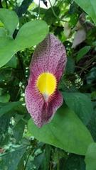 Image of Aristolochia odoratissima
