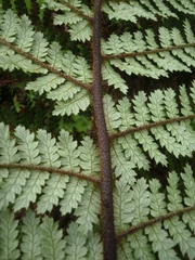 Rough Tree Fern - Photo (c) savvy, all rights reserved, uploaded by Nick Saville