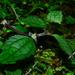 Chamabainia cuspidata - Photo (c) LINDA .EVF, kaikki oikeudet pidätetään