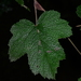 Rubus formosensis - Photo (c) LINDA .EVF, all rights reserved