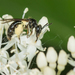 Short-haired Dogwood Mining Bee - Photo (c) Heather Holm, all rights reserved