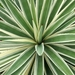 Caribbean Agave - Photo (c) Kathy Velandia Ricardo, all rights reserved