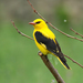 Eurasian Golden Oriole - Photo (c) Imran Shah, some rights reserved (CC BY-SA)