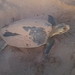 Flatback Sea Turtle - Photo (c) ppyykk, all rights reserved