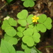 Great Yellow Woodsorrel - Photo (c) J. Kevin England, all rights reserved