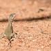 Diporiphora australis - Photo (c) Trent Townsend, todos los derechos reservados
