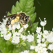 Nason's Mining Bee - Photo (c) Heather Holm, all rights reserved