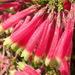 Erica densifolia - Photo (c) Nicola van Berkel, todos los derechos reservados