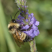Lemon Cuckoo-Bumble Bee - Photo (c) Heather Holm, some rights reserved (CC BY-NC)