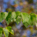 American Elm - Photo (c) Terry Woodward, all rights reserved