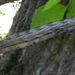 Sphecodina - Photo (c) jawinget, todos los derechos reservados, uploaded by jawinget