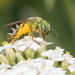 Bicolored Striped Sweat Bee - Photo (c) Heather Holm, all rights reserved