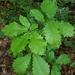 Quercus michauxii - Photo (c) Lincoln Durey, todos los derechos reservados